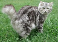 American Bobtail cat - some stunning photos American Curl, Exotic Cat Breeds, American Bobtail Cat, Purebred Cats, Manx Cat, Lots Of Cats, Cat Colors, Mixed Breed, Pretty Cats