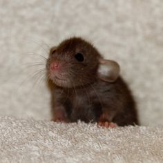 .Baby Dumbo Rat. This is the only animal ,other than a dog, that is so cute I almost cried. Can we get one?