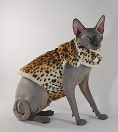sphynx cat gray