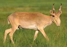Miracles of Weird: The Saiga Antelope
