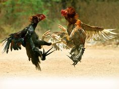 buynteneew: Kawasan atau lokasi sabung ayam