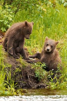 cute playing bear cubs  #by throughwinterfields.tumblr.com  and https://www.pinterest.com/pin/377458012501472082/