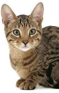 Serengetti kitty