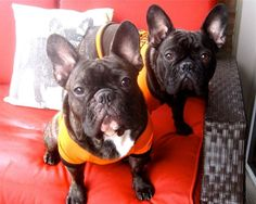 THEEE MOST BEAUTIFUL EVER <3  Frenchie love
