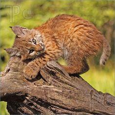 Bobcat Kitten Image -- High Resolution Image at FeaturePics.com