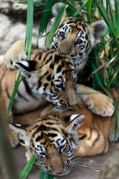 Three two- month old Royal Bengal tiger cubs play in their enclosure at the animal refuge La Fundacion Refugio Salvaje (Furesa) in La Libertad on the outskirts of San Salvador. The refuges takes care of animals in danger of extinction. ■ Photo: Ulises Rodriguez (Reuters)