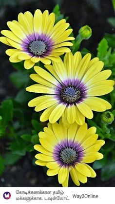 Ideas For Tattoo Flower Daisy Nature Flowers Nature, Exotic Flowers, Amazing Flowers, Pretty Flowers, Yellow Flowers, Colorful Flowers, Spring Flowers, Flower Images, Flower Pictures