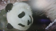 Panda sevgisi