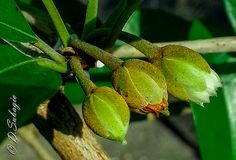 Flower of Sapodilla / Achras Sapota / Bunga Sawo