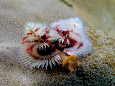 Spirobranchus giganteus comes in many colors and is called the Christmas Tree Worm because of the spiral cone shape of its two feeding crowns. This worm attaches to tropical coral reefs and feeds by gathering microscopic bits in their cilial appendages, or fringe. Image by Wikipedia user Nhobgood.