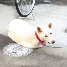 なんか変‼️ #くまdog#Kuma部#いぬ#犬#白い犬#白犬#愛犬#譲渡犬#雑種犬#動物#くま#kuma#dog#dogs#whitedog#whitedogs#animal#animals#petdog#petdogs#mongrel#mongrels#ふわもこ部#紀州犬mix#ハスキーmix
