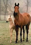 Domestic Horses (Equus caballus)  mare and foal; Image ONLY