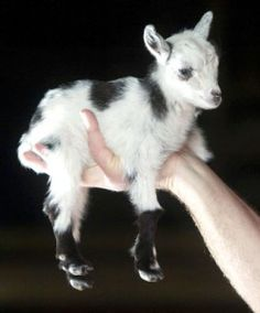 Pygmy Goat! ahhhhh how is it possible that there is a goat that fits in your hand!