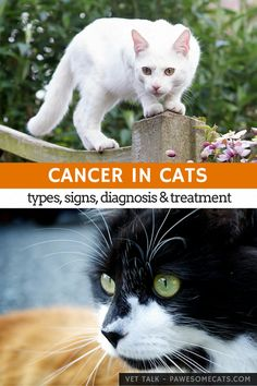 The facts of feline cancer - including common cancers, signs, diagnosis, treatment and how to reduce the risk of cancer in cats   Cancer in Cats
