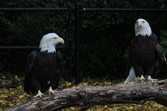 Bald Eagles -  Detroit Zoo by Jeff Dunn