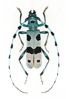Rosalia alpina - The Rosalia longicorn is a large longicorn that is distinguished by its distinctive markings. It is in the Beetle family.