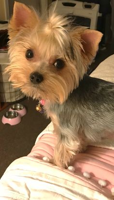 ❤ Tiny Puppies, Puppies And Kitties, Cute Puppies, Cute Dogs, Doggies, Teacup Yorkie, Yorkie Puppy, Teacup Puppies, Animals Beautiful