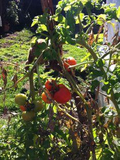 En cualquier parte se puede poner una matiza de #Tomates #Huerto