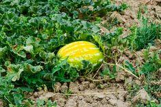 Ako pestovať dyne a melóny? Watermelon, Fruit, Food, Compost, Essen, Meals, Yemek, Eten