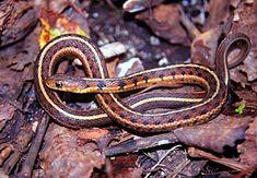 Eastern Garter Snake - Thamnophis sirtalis