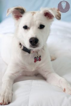 Border Collie / Lab Mix