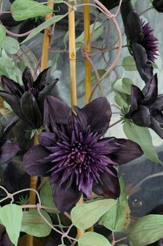 25 Double Purple Clematis Seeds Large Bloom Climbing Perennial Garden Flower 510 – Famous Last Words Clematis Plants, Purple Clematis, Clematis Flower, Clematis Vine, Flowers Perennials, Planting Flowers, Climbing Clematis, Flowers Garden, Sun Plants