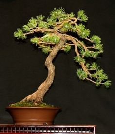 Muhgo pine bonsai tree, bonsai