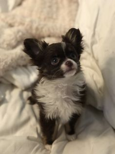 Chocolate and white long hair chihuahua. 3 months old White Chihuahua, Long Haired Chihuahua, Chihuahua Puppies, Baby Puppies, Chihuahuas, Dogs Golden Retriever, Retriever Puppy, Shelter Dogs, Animal Shelter