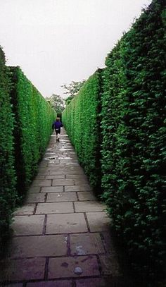 trees or bushes for privacy fence | shrubs for hedges these are shrubs suitable for creating hedges