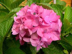 hydrangea  in our garden