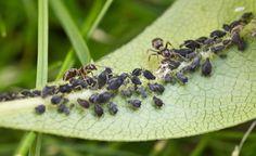 Tipps gegen Blattläuse - Blattläuse tauchen im Frühling wie aus dem Nichts auf und machen sich über junge Blätter und Triebe her. So bekämpfen Sie die Insekten erfolgreich.