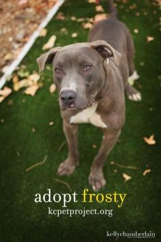 Frosty knows that the cold weather is not far off and wants you to know he is a warm cuddly guy for those cold nights! Come meet this 2 year old terrier/pit bull mix at KCPP today!
