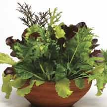 City Garden Mesclun Blend -A traditional blend of lettuces in a variety of colors and textures. Plant 2 or 3 pellets in a 6 inch or larger container. In about 5 to 6 weeks you can start harvesting. Cut back to 2 inches and allow to regrow, then cut again. Performs best in full sun in cool weather, or partial shade as temperatures heat up.