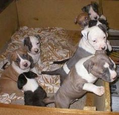 staffordshire bull terrier puppies for sale uk