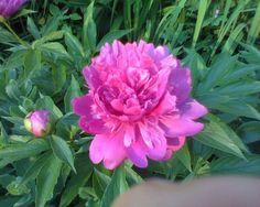 Peonies one of my favorites!!!