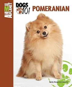 pomeranian puppy care pomsky puppy oh my goodness just wanna snuggle that 3010