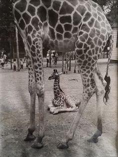 April the Giraffe born at The Catskill Game Farm in 2002 - good article