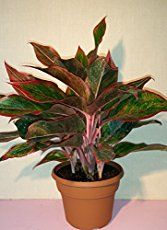 Aglaonema house plants care tips. Many aglaonema varieties are easy and popular indoor potted plants. Common sense Aglaonema plant care guide from an interior landscape professional. Common House Plants, Easy House Plants, Cool Plants, Potted Plants, Indoor Plants, Indoor Garden, Chinese Evergreen Plant, Snake Plant Care, Low Light Plants