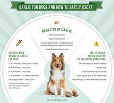 Is garlic for dogs safe? We provide study results & how much garlic to safely feed your dog. Garlic For Dogs, Fruits For Dogs, Dog Care Tips, Dog Food Recipes, Healthy Recipes, Fleas, Dog Treats, Fur Babies, Dog Cat