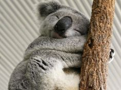 Why are koalas such tree huggers?