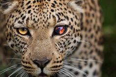 Eye of the Leopard Photo by Wayne Wetherbee — National Geographic Your Shot
