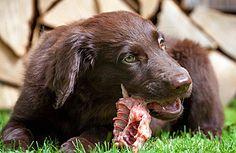perro comiendo carcasa de pollo