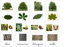"""Result of image search for """"tree recognition"""" Forest School Activities, Autumn Activities For Kids, Science For Kids, Science And Nature, Alternative Education, Nature Study, Nature Prints, Kids Education, Botany"""