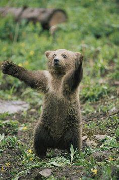 A Grizzly Bear Cub Ursus Arctos