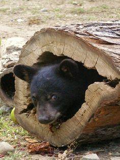Bear cub, hide and seek                                                                                                                                                                                 More