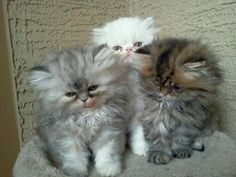 Baby Persians. So stinking cute!