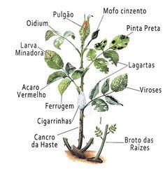 Horta e Jardim: Doenças das Roseiras