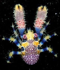 The squat lobster (Galathea pilosa), is a very rare species found in the shallow waters of French Polynesia. It is unique in its bright colouring, but its flattened body with the tail curled under the thorax is typical for its genus. Under The Water, Life Under The Sea, Under The Ocean, Sea And Ocean, Ocean Deep, Underwater Creatures, Underwater Life, Ocean Creatures, Beautiful Creatures