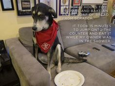 """""""It took 12 hours to prepare and bake an entire loaf of bread from scratch. And it took 15 minutes to jump onto the counter and eat it while my mom was in the shower."""" ~ Dog Shaming Counter Surfer  Scoutin' for Fresh Baked Goods."""