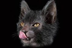 Lykoi Cats The Werewolf Cat Everything You Need To Know